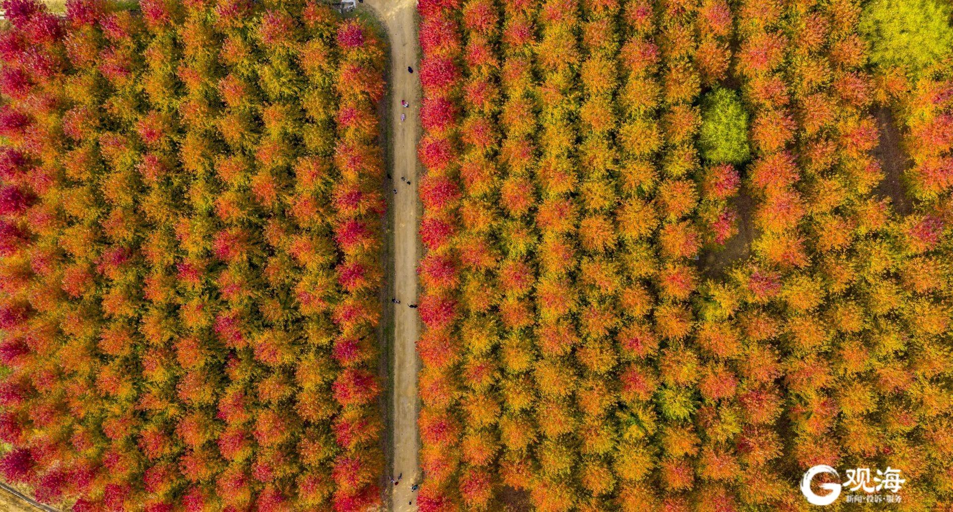 惊艳!西海岸千亩红枫林进入最佳观赏期