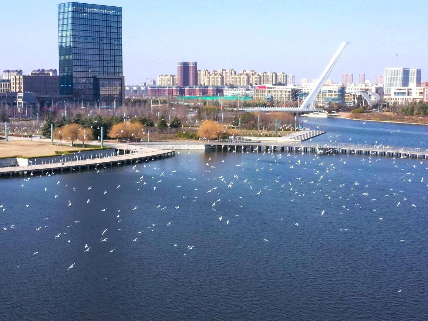 冬日美景!数千只海鸥翱翔青岛祥原因茂河