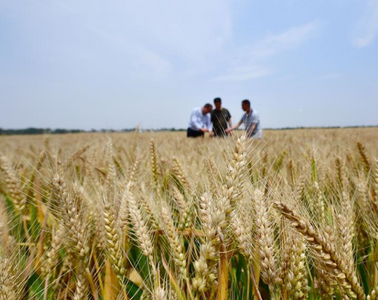 """青岛小麦种植面积小幅下降但总产量稳定,让气象条件来""""说话"""",这是为啥?"""