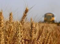 我市小麦种植面积小幅下降总产量稳定