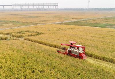 """亩产739.7公斤!青岛""""海水稻""""开镰收割"""