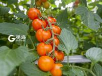 795个大项目助力青岛乡村发展——乡村振兴系列(2)
