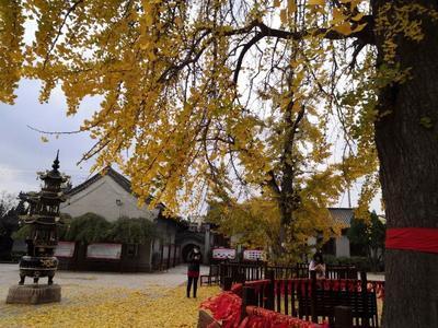 深秋最美落叶竟是濒危树种?没错就是银杏