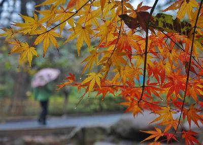 """初冬雨加雪  中山公园的红枫″红疯""""了"""