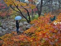 初冬雨加雪  中山公园的红枫″红疯