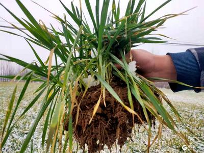 """春雨及时 30万亩小麦""""解渴"""""""