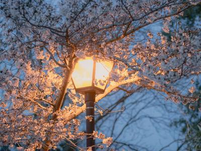 清明假期安排上!青岛首届樱花节在这办