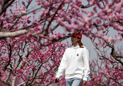 """""""农旅融合""""啥体验?胶州洋河喊你赏梅+摘草莓"""