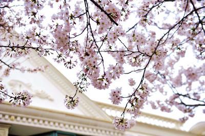 这条街的樱花都开了,确定不来看看吗?
