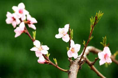 樱桃花杏花太多?换换口感,打卡万亩桃花