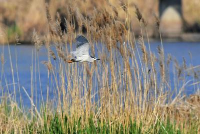 青岛湿地鸟类:金眶鸻、反嘴鹬…读不出来?直接上图!