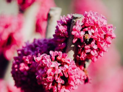 樱花审美疲劳?来这个公园看看紫荆吧