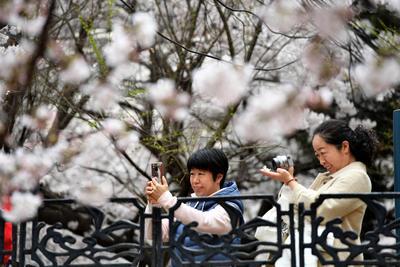 """青岛""""宝藏小路"""": 樱花颜值不输中山公园"""