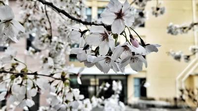 中国海洋大学樱花上线,校园里的一抹小清新