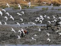 墨水河入海口湿地实拍:青脚鹬、翘嘴鹬……约不约