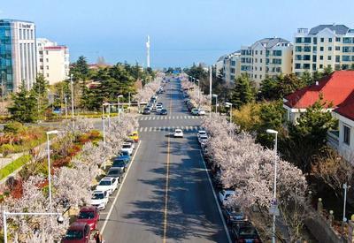 赏完樱花看这里,600米紫叶李花直通大海
