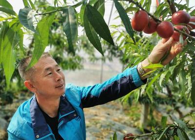 平度市白沙河街道大棚油桃迎来收获季 每公斤30元为果农带来甜蜜收益