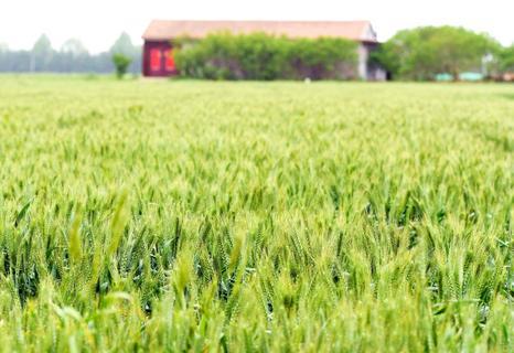 灌浆的麦穗见过吗?实拍西海岸麦田