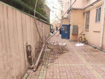 记者在现场 | 青岛一小区树木占道3个月无人管,市民出行受阻,存在安全隐患