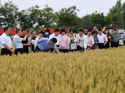 敲响丰收的锣鼓!青岛市小麦新品种新技术观摩会暨新品种展示开放周活动启动