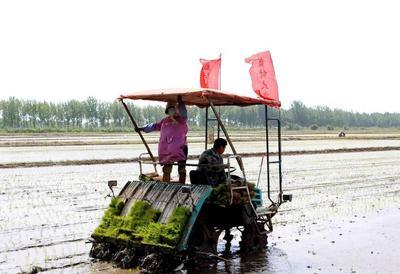 即墨蓝村:农机助力1200亩水稻插秧