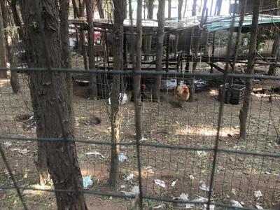 记者在现场|城市公园边藏着养鸡场