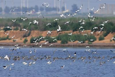 """红嘴鸥、鹤鹬、黑尾塍鹬…成群候鸟""""歇脚""""青岛湿地,美美哒!"""