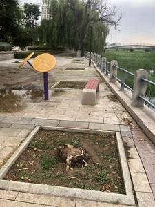 记者在现场 墨河公园柳树被砍 何时补种?