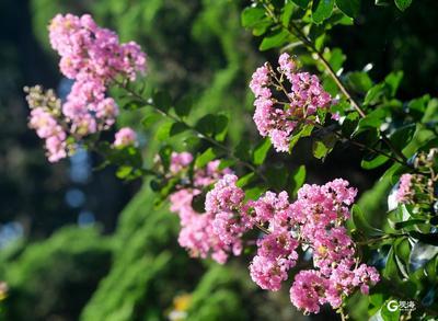 中山公园:紫薇花开满园