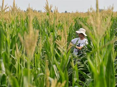 青岛丰收进行时!花生收获超过90万亩,专家建议玉米适期晚收