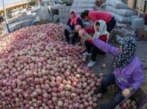 铺集镇村民张洪平栽培的苹果品质高备受青睐