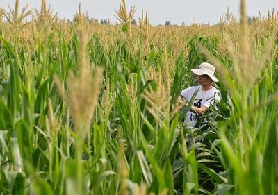 今年玉米成熟期较常年略晚 专家建议适期晚收