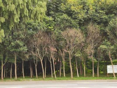 记者在现场|行道树成片枯死 影响城市道路景观